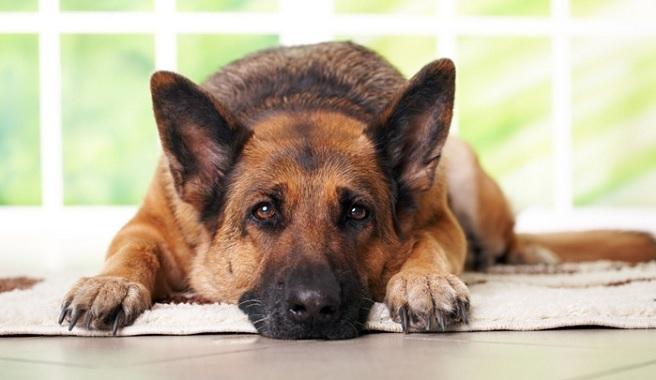 Los perros soportan 85 decibeles y la pólvora alcanza los 190 decibeles